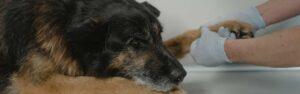 Descubre el antiinflamatorio para perros, tipos e indicaciones veterinarias