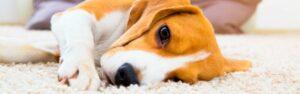 Conoce la leishmaniasis en perros y cómo prevenirla