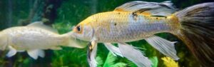 Descubre los peces de agua fría para acuario y que son fáciles de cuidar